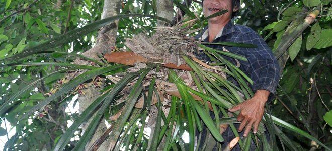 Tại sao Lan Rừng Đắt? Nguy hiểm nghề hái lan rừng