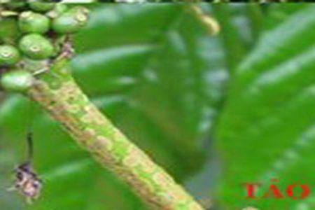 bệnh tảo đỏ gây hại trên cây cà phê