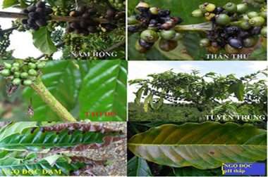 "PREVENTION  AND TREATMENT FOR ""RED ALGA"" DISEASES ON COFFEE PLANTS"
