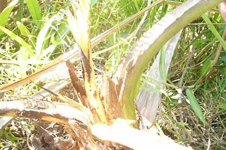 Bệnh thối đọt dừa mối nguy hiểm cho các vườn dừa