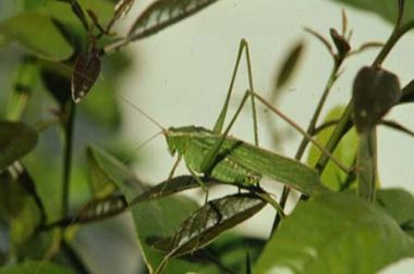 GRASSHOPPERS AND RELATED INSECTS ON ROSES