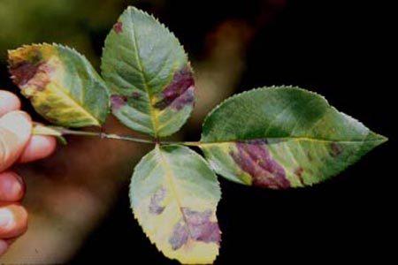 DOWNY MILDEW ON ROSE PLANT