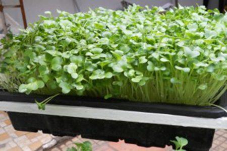 rau mầm xà lách cải bông xanh cải nhật