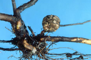 PLANT PATHOLOGY - BACTERIAL CROWN GALL OF FRUIT CROPS