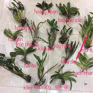 combo 14 loại lan rừng